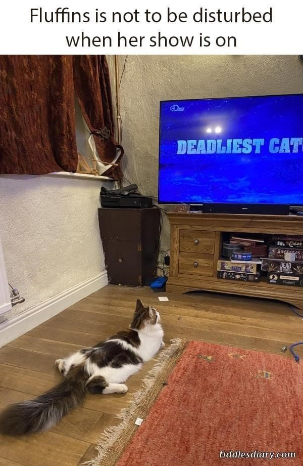 Cat - Fluffins is not to be disturbed when her show is on Day DEADLIEST CAT Stanoos LOT DEAD tiddlesdiary.com
