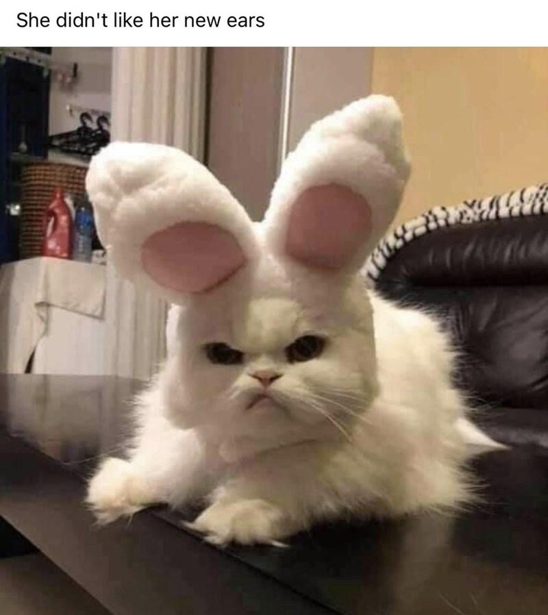 Cat - Rabbit - She didn't like her new ears