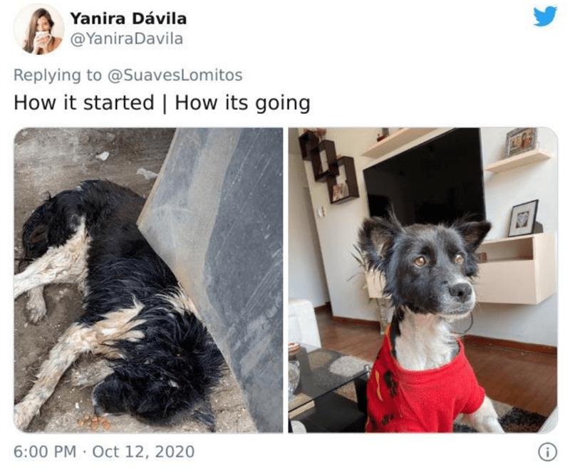 Dog breed - Yanira Dávila @YaniraDavila Replying to @SuavesLomitos How it started   How its going 6:00 PM · Oct 12, 2020