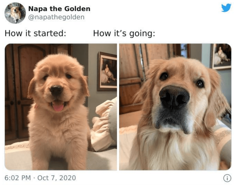 Dog - Napa the Golden @napathegolden How it started: How it's going: 6:02 PM · Oct 7, 2020