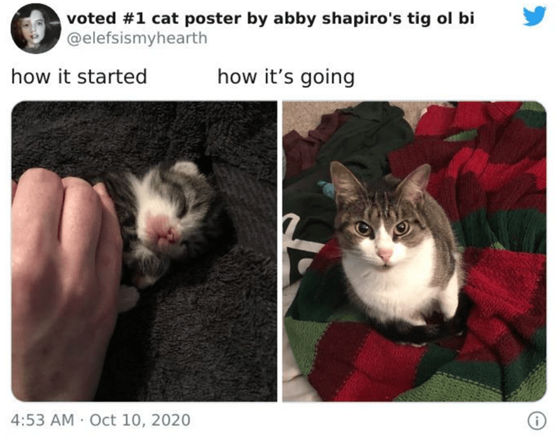 Cat - voted #1 cat poster by abby shapiro's tig ol bi @elefsismyhearth how it started how it's going 4:53 AM Oct 10, 2020
