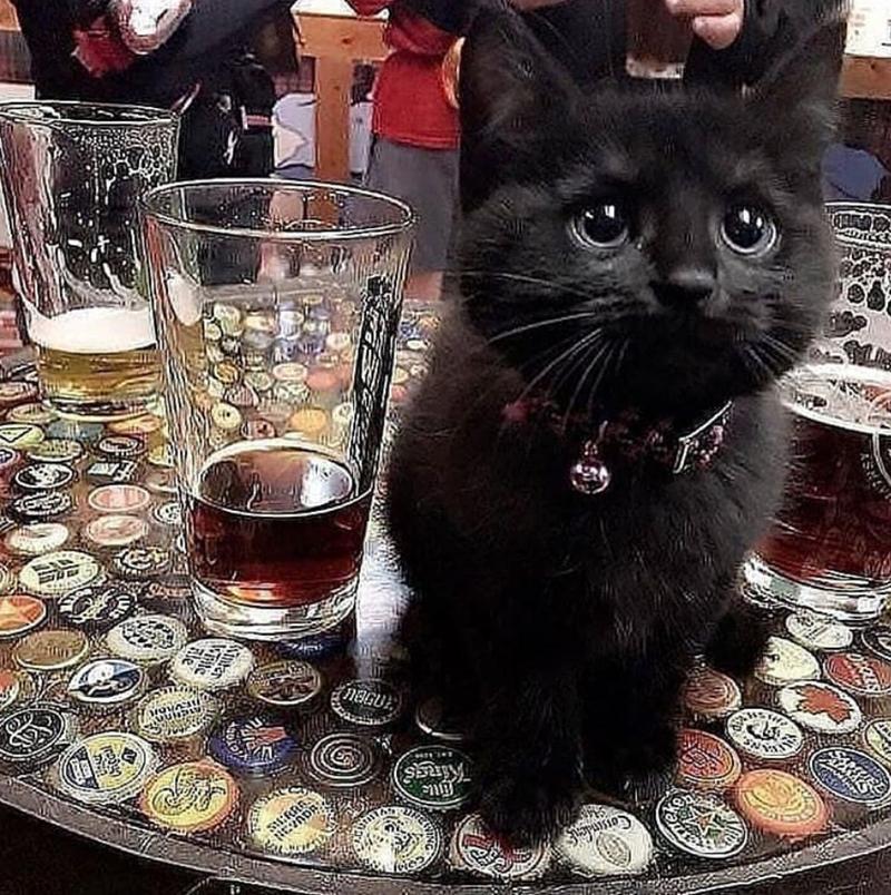 Cat - ASHEV