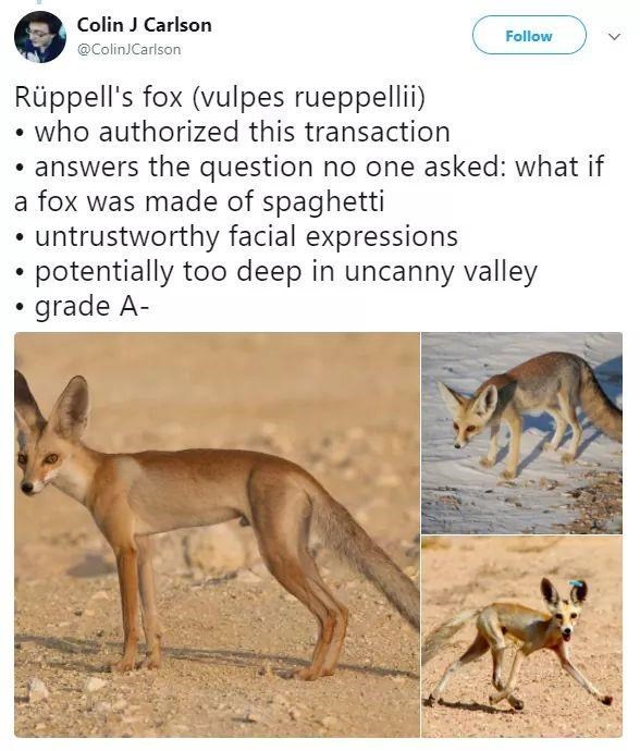 Wildlife - Colin J Carlson Follow @ColinJCarlson Rüppell's fox (vulpes rueppellii) • who authorized this transaction • answers the question no one asked: what if a fox was made of spaghetti untrustworthy facial expressions potentially too deep in uncanny valley • grade A-