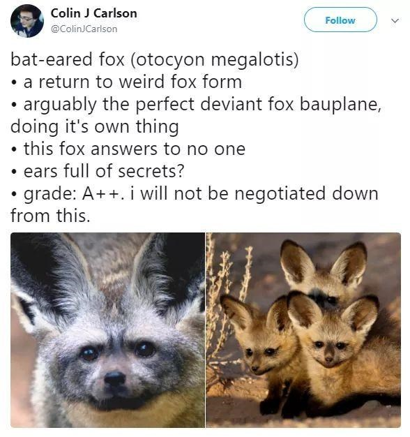 Fennec fox - Colin J Carlson Follow @ColinJCarlson bat-eared fox (otocyon megalotis) • a return to weird fox form • arguably the perfect deviant fox bauplane, doing it's own thing • this fox answers to no one • ears full of secrets? • grade: A++. i will not be negotiated down from this.