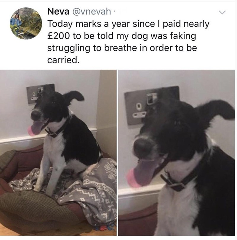 Dog - Neva @vnevah · Today marks a year since I paid nearly £200 to be told my dog was faking struggling to breathe in order to be carried.