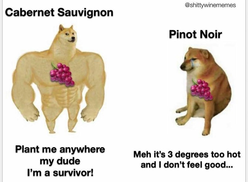 Animal figure - @shittywinememes Cabernet Sauvignon Pinot Noir Plant me anywhere my dude I'm a survivor! Meh it's 3 degrees too hot and I don't feel good...