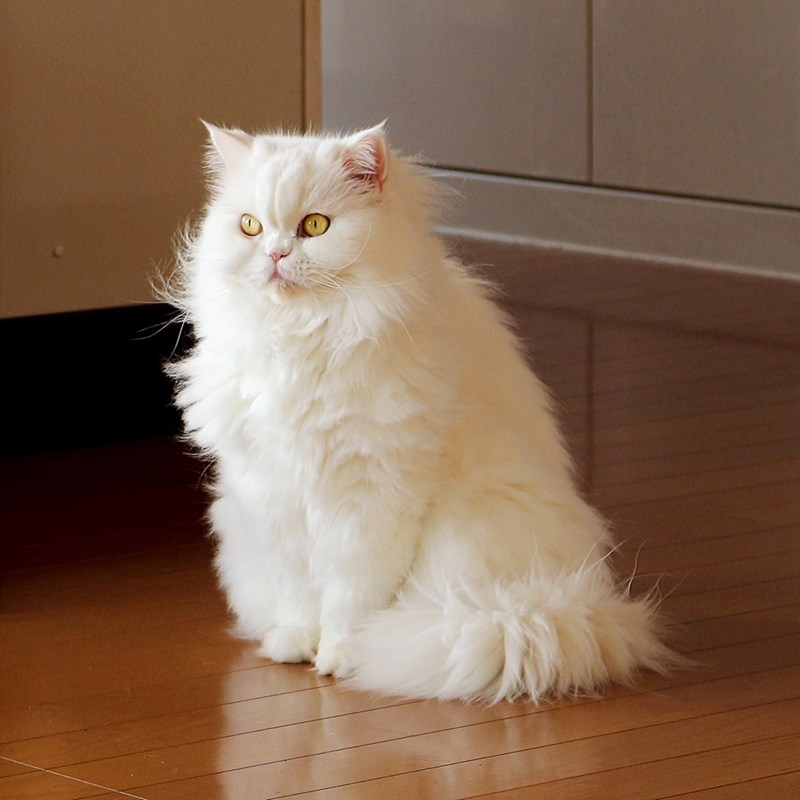 Ghost Cats White Fluffy Cat Appreciation I Can Has Cheezburger