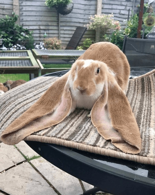 Domestic rabbit - WELC