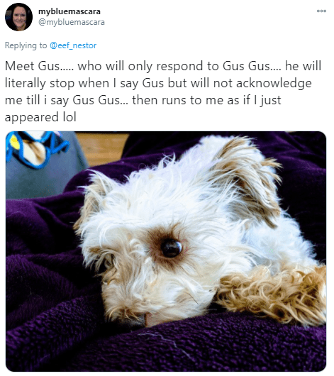Dog - mybluemascara @mybluemascara Replying to @eef_nestor Meet Gus. who will only respond to Gus Gus. he will literally stop when I say Gus but will not acknowledge me till i say Gus Gus. then runs to me as if I just appeared lol