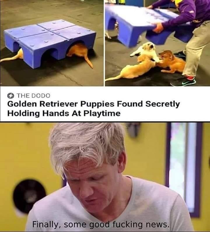 Photo caption - THE DODO Golden Retriever Puppies Found Secretly Holding Hands At Playtime Finally, some good fucking news.