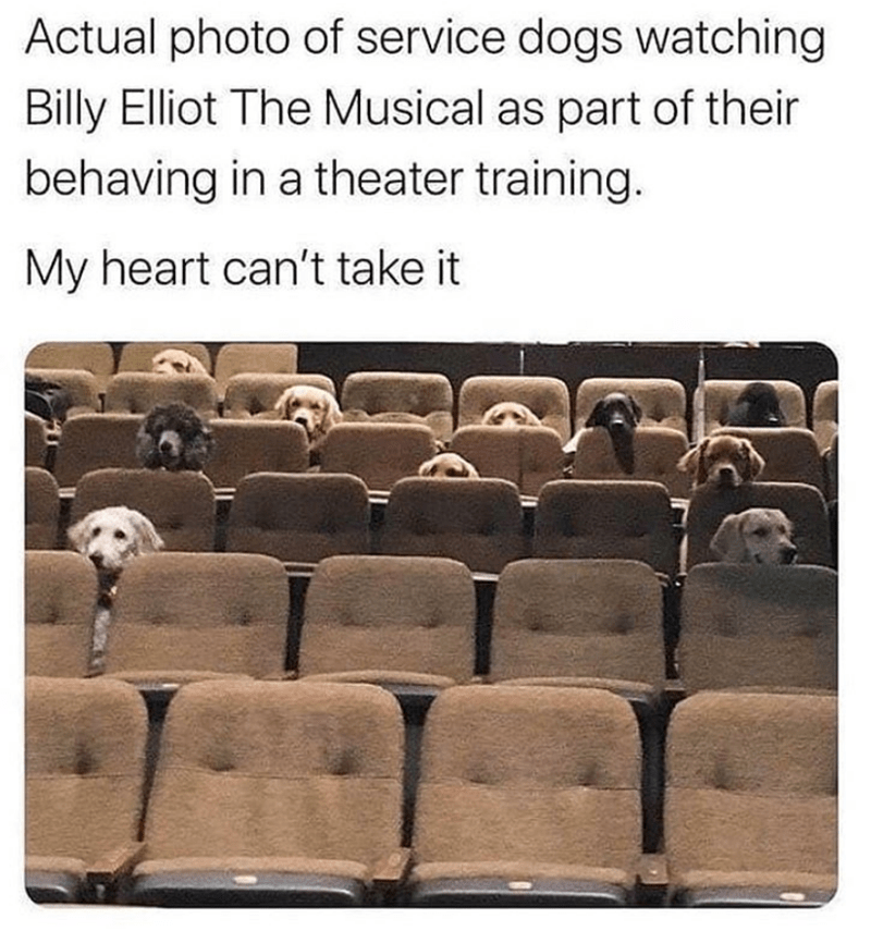 Furniture - Actual photo of service dogs watching Billy Elliot The Musical as part of their behaving in a theater training. My heart can't take it