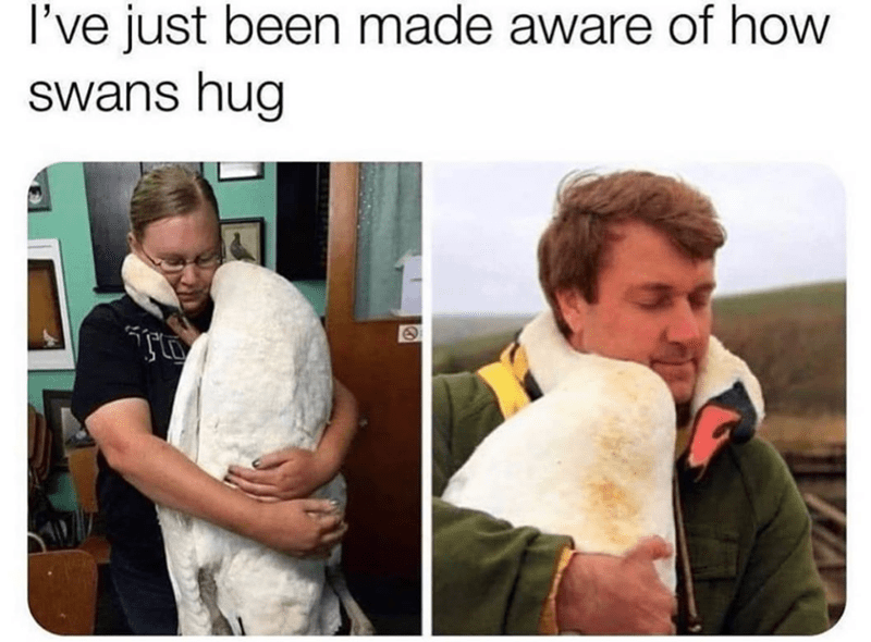 Human - I've just been made aware of how swans hug
