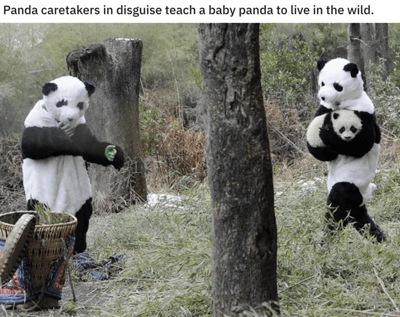Panda - Panda caretakers in disguise teach a baby panda to live in the wild.