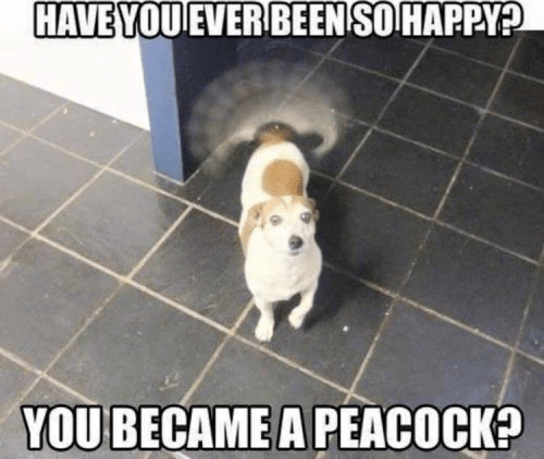 HAVE you EVER BEEN SO HAPPY you became a peacock dog wagging its tail excitedly