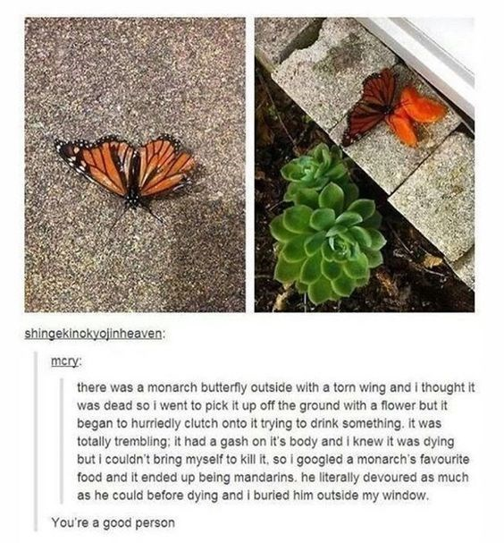 there was a monarch butterfly outside with a torn wing and i thought it was dead so i went to pick it up off the ground with a lower but it began to hurriedly clutch onto it trying to drink something. it was totally trembling; it had a gash on it's body and i knew it was dying but i couldn't bring myself to kill it. so i googled a monarch's favourite food and it ended up being mandarins. he literally devoured as much as he could before dying and i buried him outside my window.