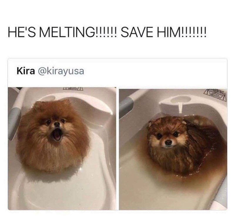 HE'S MELTING!!!!!! SAVE Kira @kirayusa fluffy pomeranian dog in a bathtub filled with water