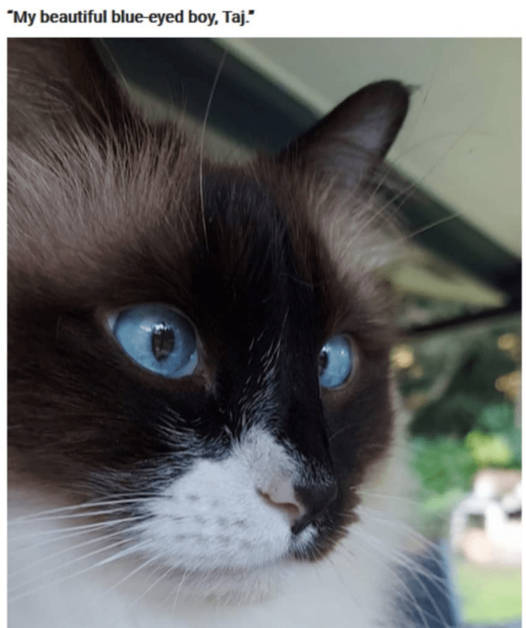 "Cat - ""My beautiful blue eyed boy, Taj."""