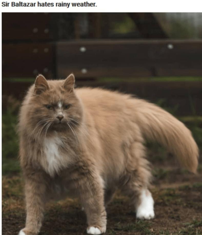 Cat - Sir Baltazar hates rainy weather.