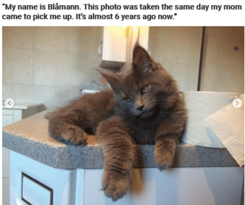 """Cat - """"My name is Blåmann. This photo was taken the same day my mom came to pick me up. It's almost 6 years ago now."""" <."""
