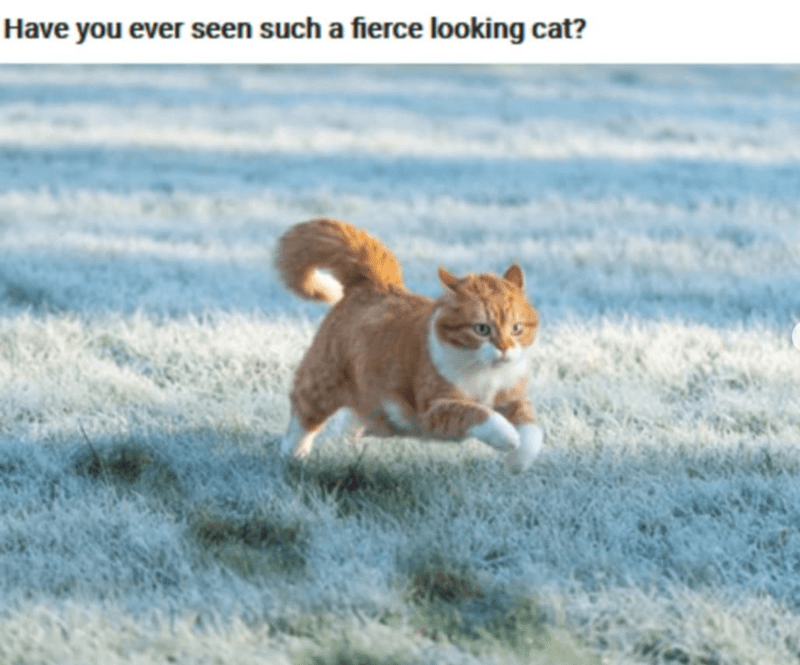 Cat - Have you ever seen such a fierce looking cat?