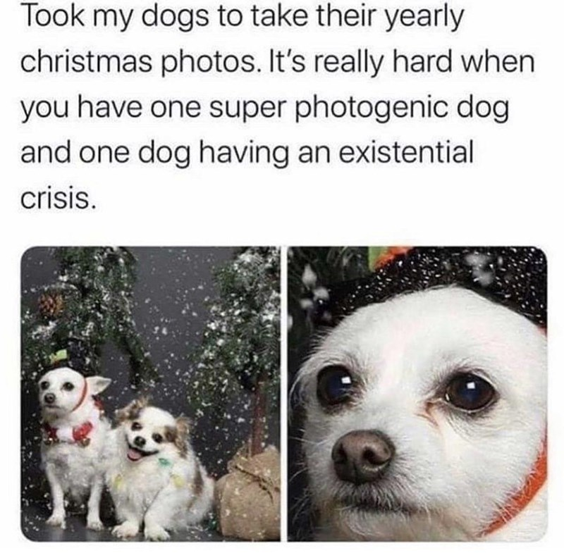 Canidae - Took my dogs to take their yearly christmas photos. It's really hard when you have one super photogenic dog and one dog having an existential crisis.