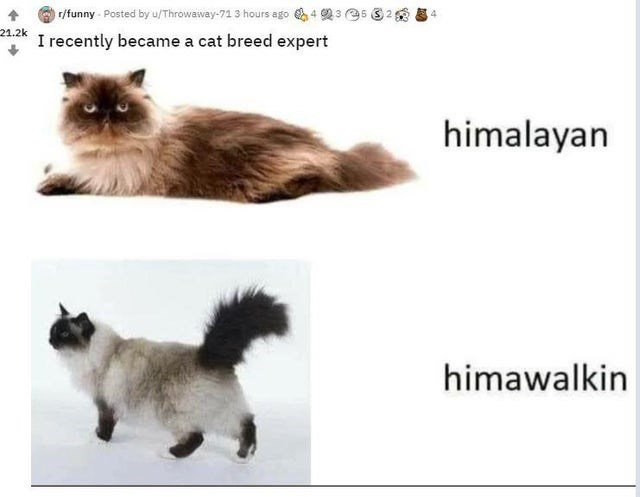 Cat - r/funny - Posted by u/Throwaway-71 3 hours ago 4 23 35 21.2k I recently became a cat breed expert himalayan himawalkin