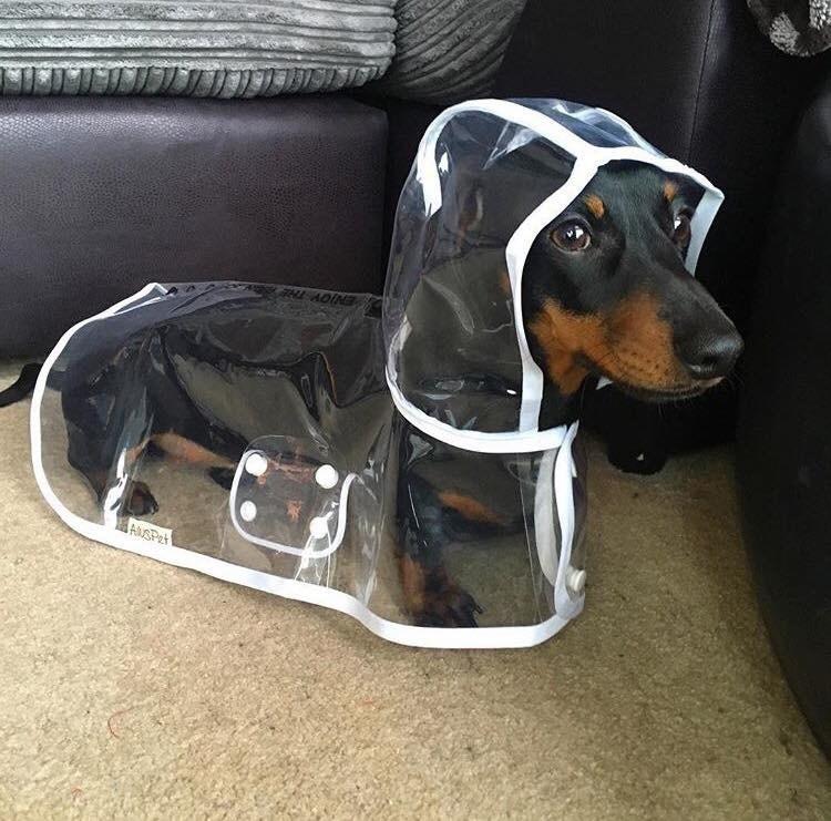 Dog - AUSPet