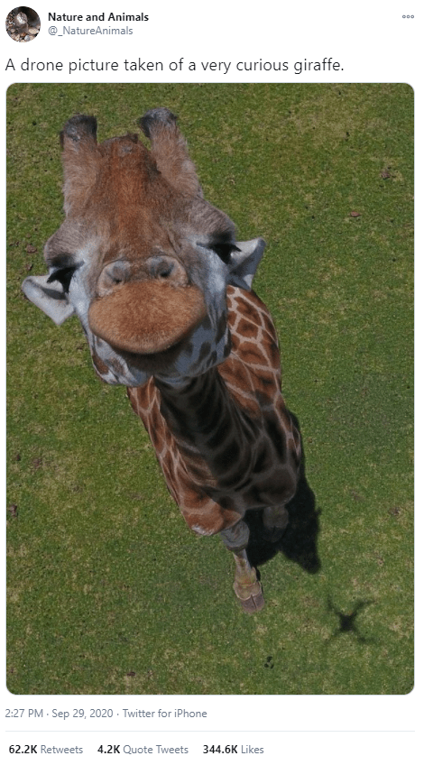 Giraffe - Nature and Animals @_NatureAnimals A drone picture taken of a very curious giraffe. 2:27 PM - Sep 29, 2020 - Twitter for iPhone 62.2K Retweets 4.2K Quote Tweets 344.6K Likes