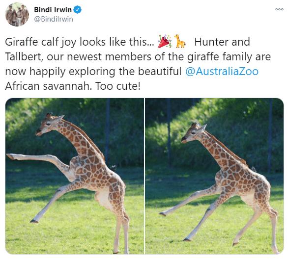 Giraffe - Bindi Irwin 000 @Bindilrwin Giraffe calf joy looks like this... Hunter and Tallbert, our newest members of the giraffe family are now happily exploring the beautiful @AustraliaZoo African savannah. Too cute!