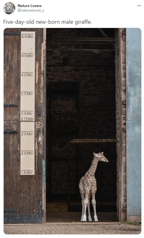 Giraffe - Nature Lovers @natureslover_s Five-day-old new-born male giraffe. 5.0 Mtr 4.5 Mtr 4.0 Mtr 3.5 Mtr 3.0 Mtr 2.75Mtr 2,5 Mtr 2.0 Mtr 1.5 Mtr
