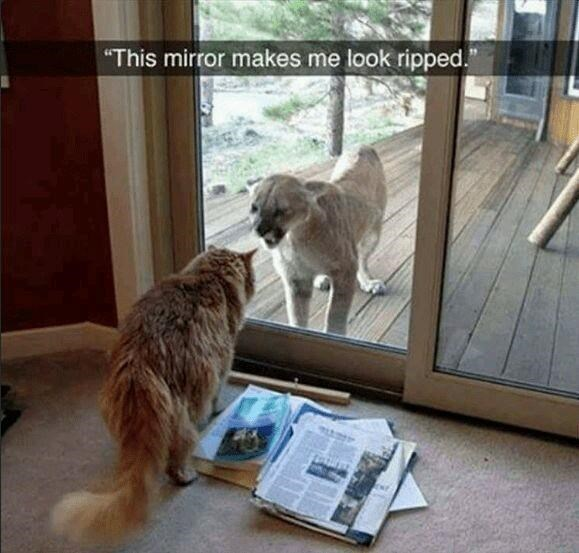 """Cat - """"This mirror makes me look ripped."""""""