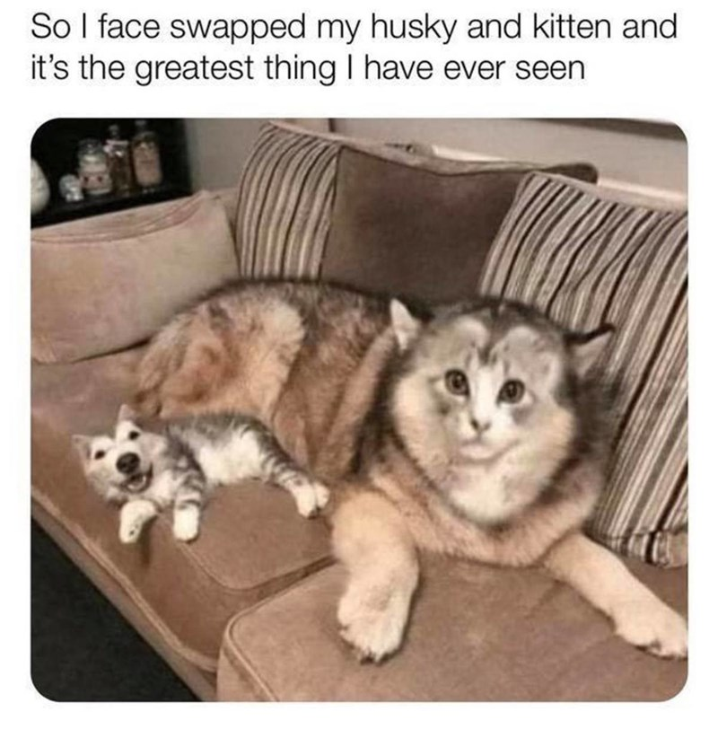 Mammal - So I face swapped my husky and kitten and it's the greatest thing I have ever seen