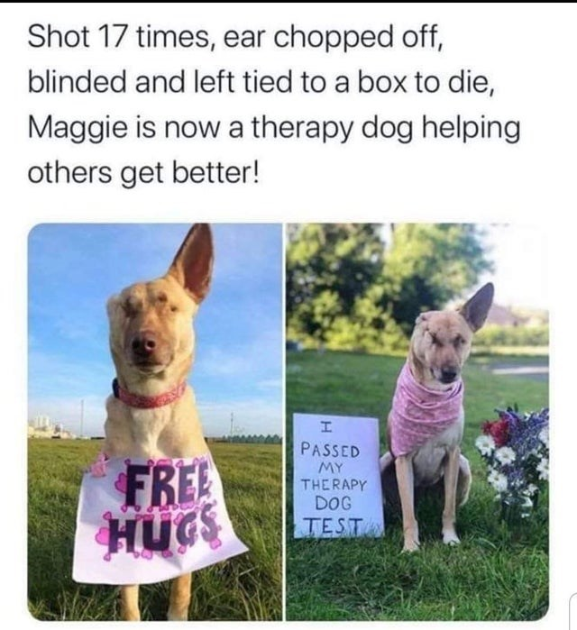 Vertebrate - Shot 17 times, ear chopped off, blinded and left tied to a box to die, Maggie is now a therapy dog helping others get better! PASSED FREE HUGS MY THERAPY DOG TEST