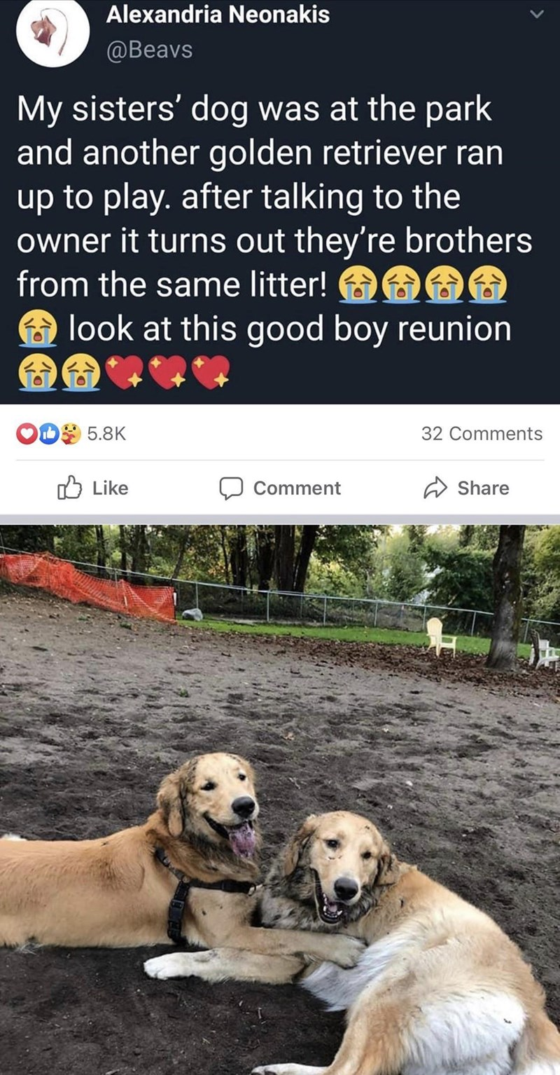 Dog - Alexandria Neonakis @Beavs My sisters' dog was at the park and another golden retriever ran up to play. after talking to the owner it turns out they're brothers from the same litter! look at this good boy reunion ODS 5.8K 32 Comments O Like Comment Share