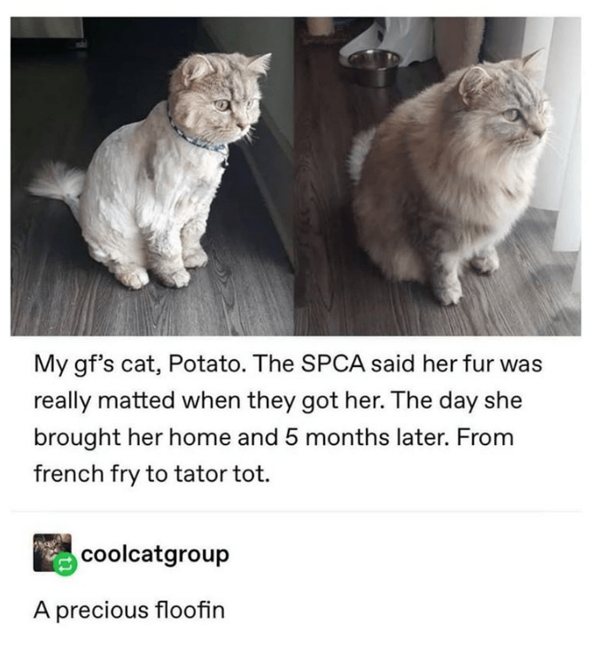 Cat - My gf's cat, Potato. The SPCA said her fur was really matted when they got her. The day she brought her home and 5 months later. From french fry to tator tot. coolcatgroup A precious floofin