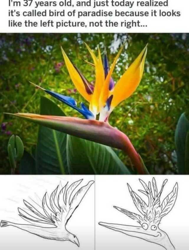 bird of paradise - I'm 37 years old, and just today realized it's called bird of paradise because it looks like the left picture, not the right...