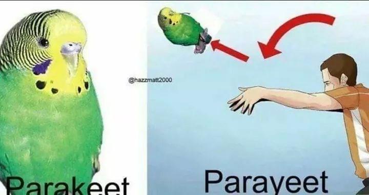 Bird - @hazzmatt2000 Parakeet Parayeet
