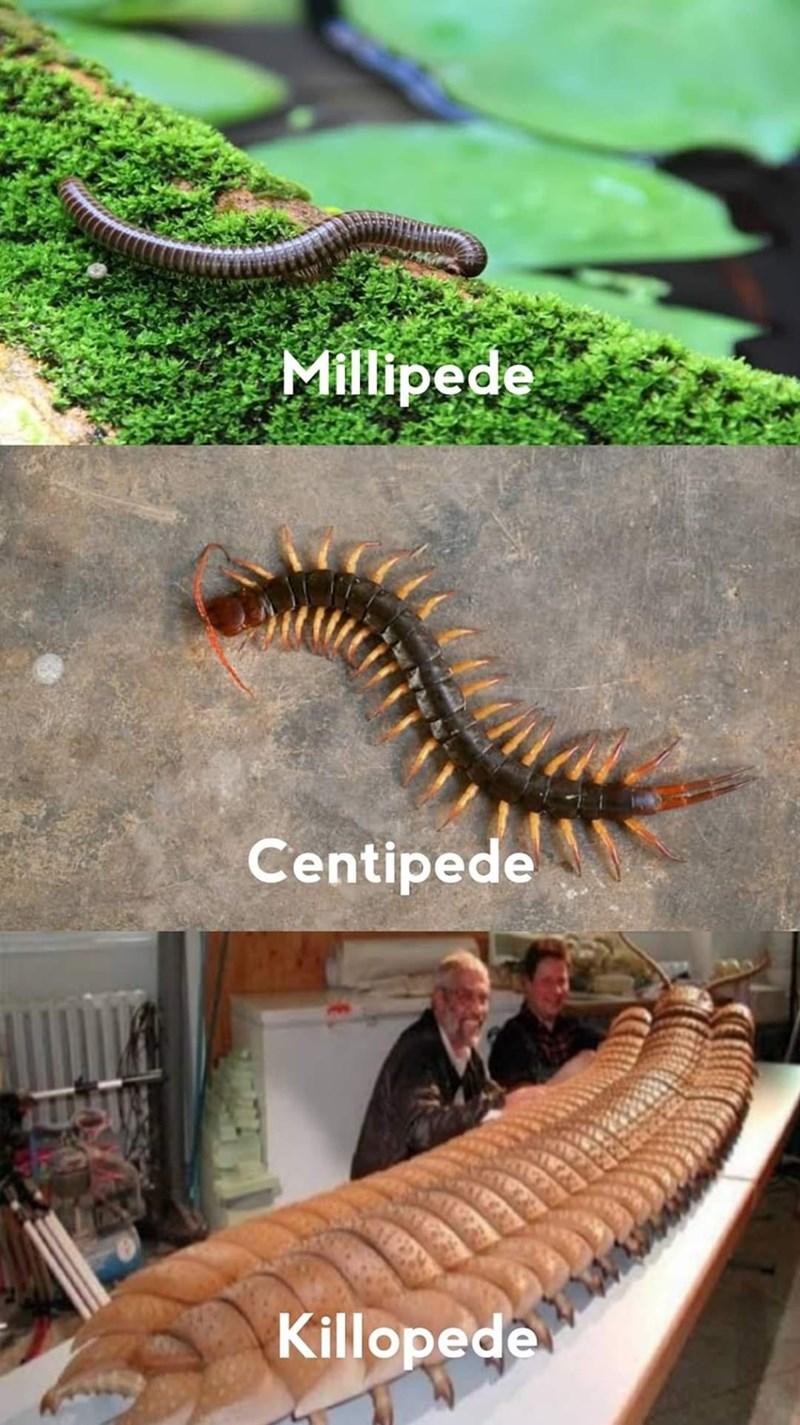 millipedes - Millipede Centipede Killopede