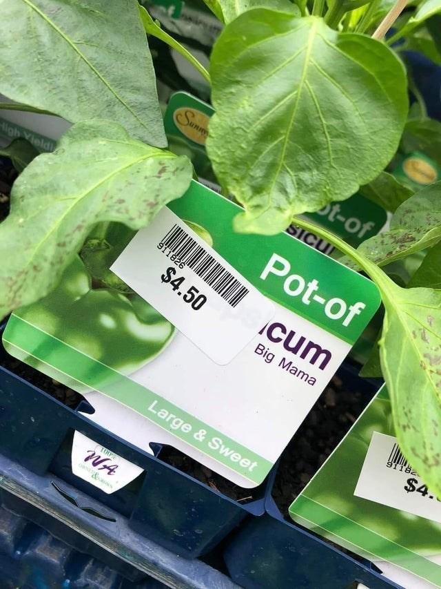 Leaf - Sunn ot-of SICU Pot-of ligh Vield 911826 $4.50 cum Big Mama 91182 $4. Large & Sweet WA