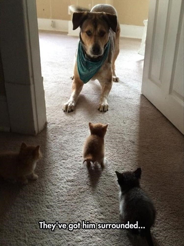 they got him surrounded funny pic of dog wearing a bandanna around its neck facing three small kittens little cats