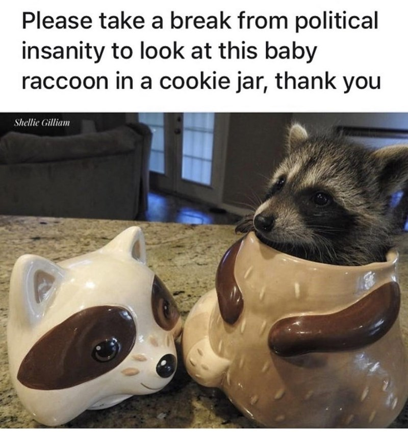 Canidae - Please take a break from political insanity to look at this baby raccoon in a cookie jar, thank you Shellie Gilliam