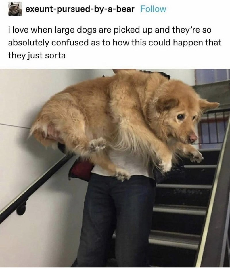 Dog - exeunt-pursued-by-a-bear Follow i love when large dogs are picked up and they're so absolutely confused as to how this could happen that they just sorta