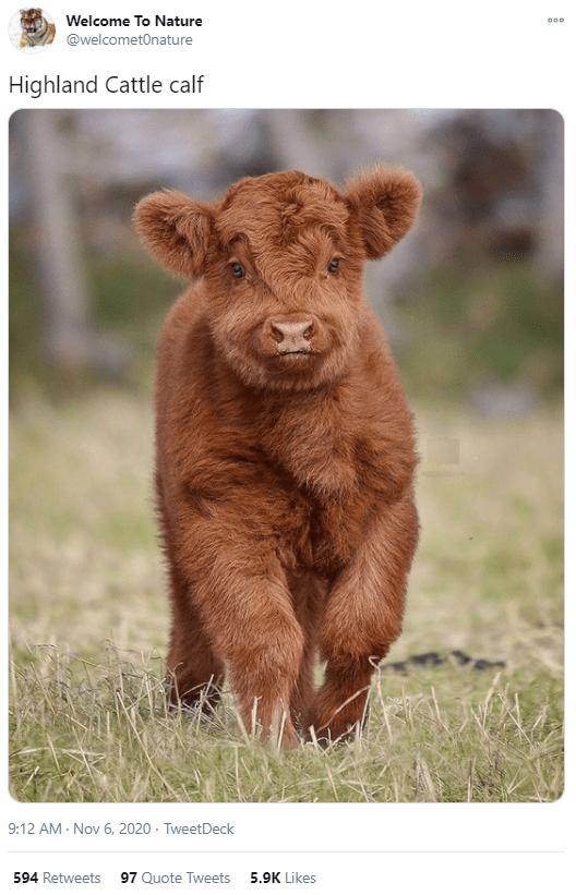 Vertebrate - Welcome To Nature 000 @welcometOnature Highland Cattle calf 9:12 AM - Nov 6, 2020 · TweetDeck 594 Retweets 97 Quote Tweets 5.9K Likes