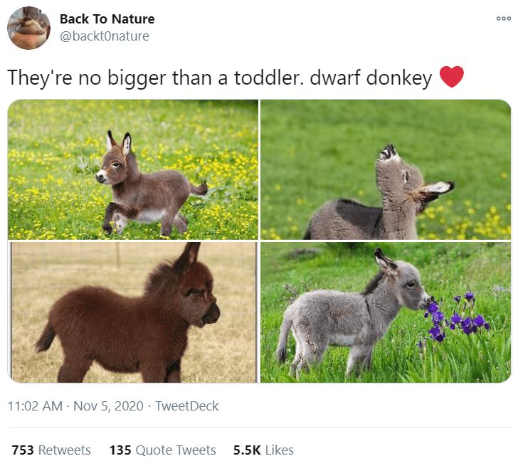 Vertebrate - Back To Nature 000 @backtOnature They're no bigger than a toddler. dwarf donkey 11:02 AM · Nov 5, 2020 · TweetDeck 753 Retweets 135 Quote Tweets 5.5K Likes