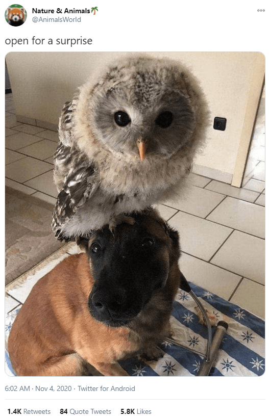 Owl - Nature & Animals 000 @AnimalsWorld open for a surprise 6:02 AM - Nov 4, 2020 - Twitter for Android 1.4K Retweets 84 Quote Tweets 5.8K Likes