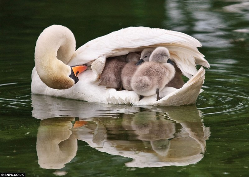 Swan - © BNPS.CO.UK