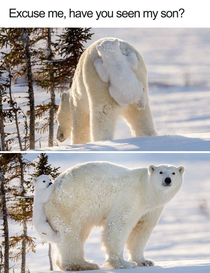 Polar bear - Excuse me, have you seen my son?
