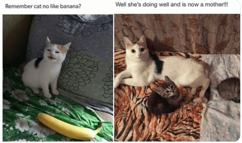 Remember cat no like banana? Well she's doing well and is now a mother!!! transformation before and after of famous cat from a meme