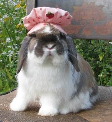 Domestic rabbit
