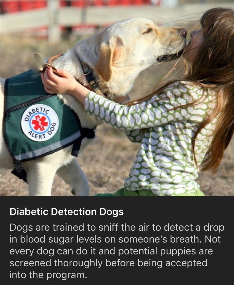 Dog breed - 000 DIABETIC DOG ALERT Diabetic Detection Dogs Dogs are trained to sniff the air to detect a drop in blood sugar levels on someone's breath. Not every dog can do it and potential puppies are screened thoroughly before being accepted into the program. 900